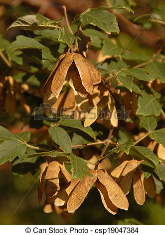 Pictures of Mature Paperbark Maple Seeds.