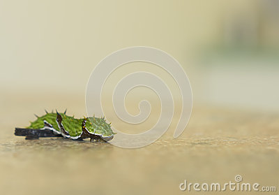 Orchard Swallowtail Butterfly Caterpillar Papilio Royalty Free.