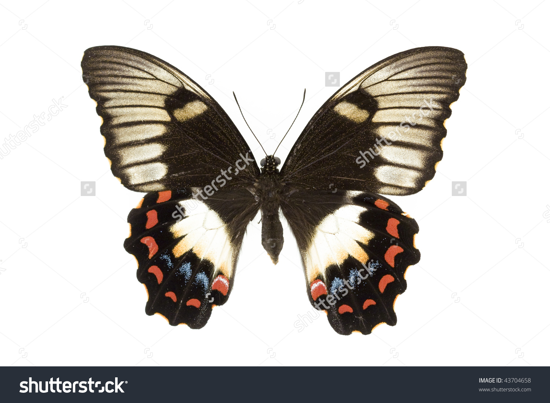 Orchard Swallowtail Papilio Aegeus Summer Form Stock Photo.
