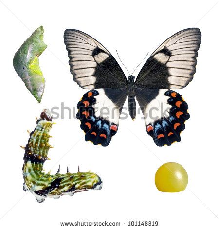 Butterfly Orchard Swallowtail Papilio Aegeus Lifecycle Stock Photo.