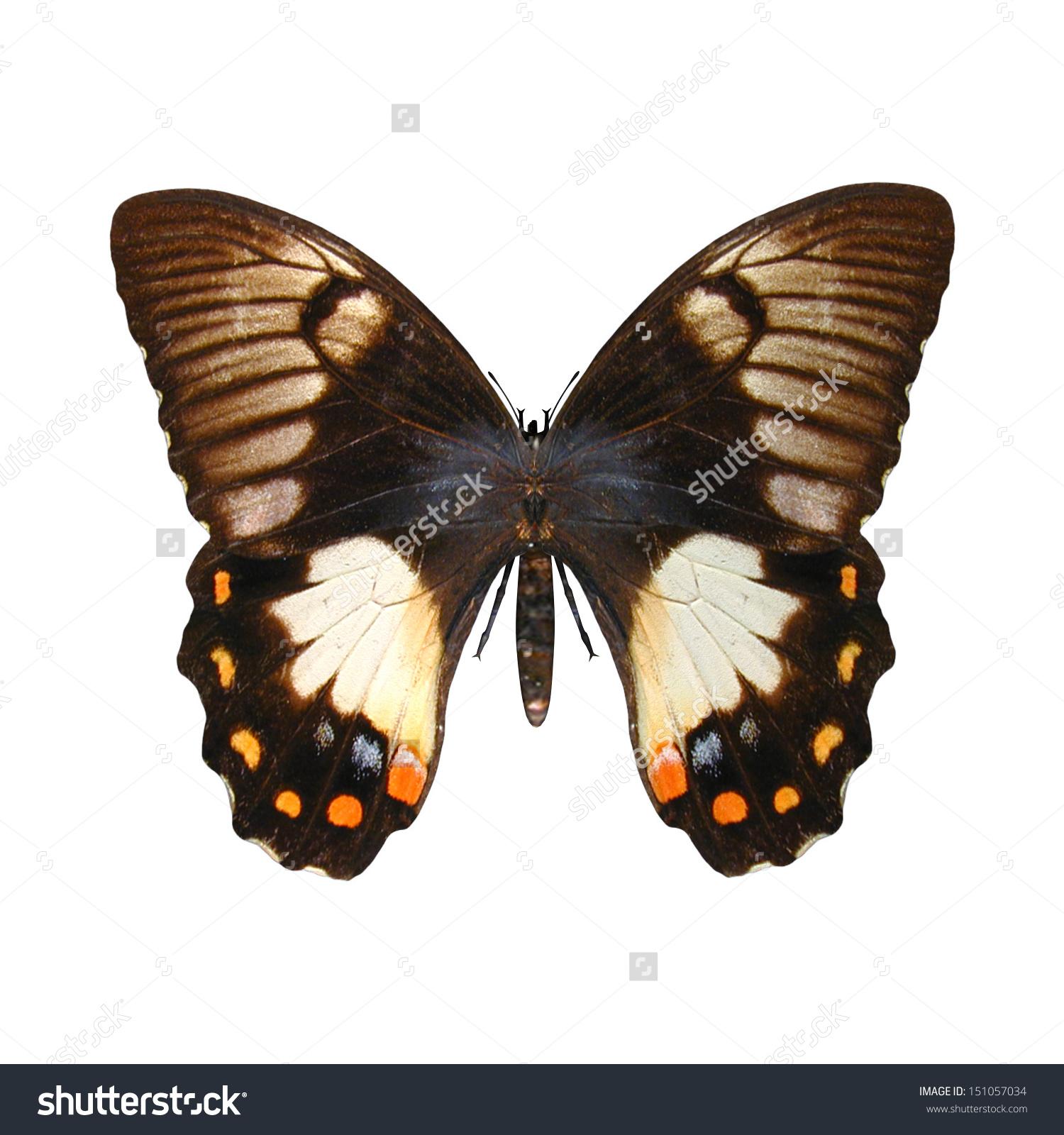 3d Digital Render Papilio Aegeus Orchard Stock Illustration.