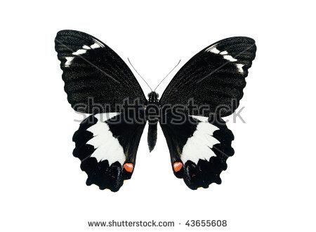 Orchard Swallowtail Papilio Aegeus Male Australian Stock Photo.