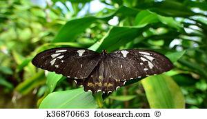 Papilio aegeus Stock Photos and Images. 11 papilio aegeus pictures.