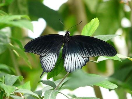 Papilio.