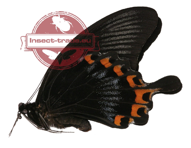 papilionidae.