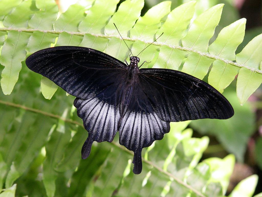 Papilio ascalaphus (male).