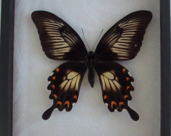 Items similar to Real Framed Papilio ulysses Butterfly on Etsy.