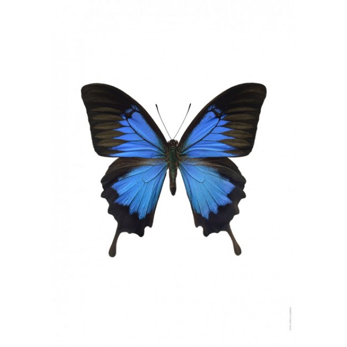Ulysses butterfly clipart.
