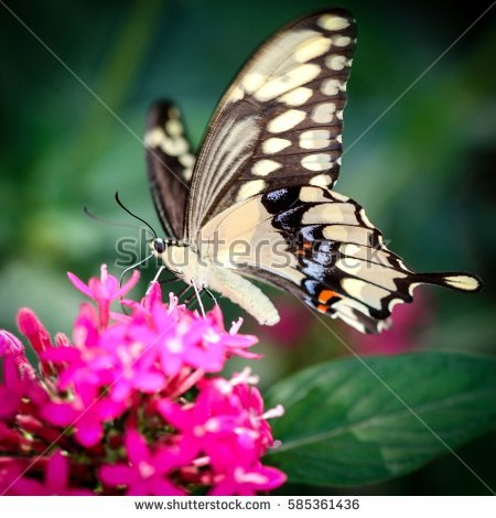 Papilio Cresphontes Stock Images, Royalty.