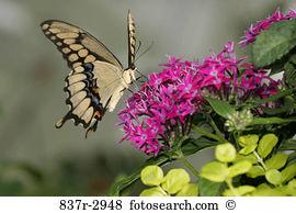 Papilio cresphontes Stock Photo Images. 54 papilio cresphontes.