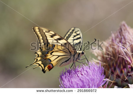 Papilio Cresphontes Stock Photos, Images, & Pictures.