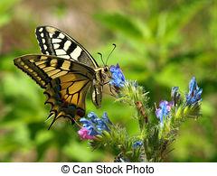Stock Photo of Giant Swallowtail Papilio Cresphontes.