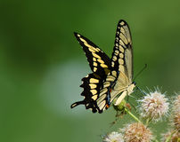 Giant Swallowtail Butterfly (Papilio Cresphontes) Stock Photo.