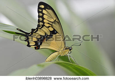 """Pictures of """"Giant Swallowtail (Papilio cresphontes), State Garden."""