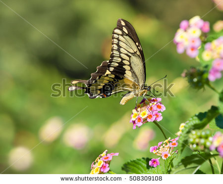 Giant Swallowtail Butterfly Stock Photos, Royalty.