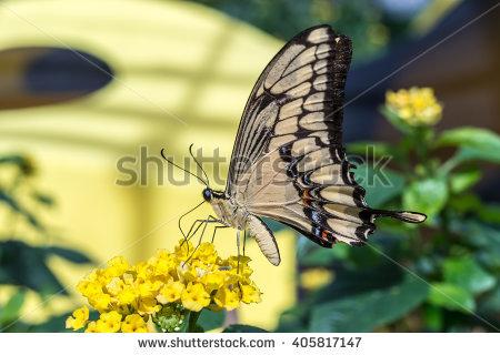 Papilio Cresphontes Stock Photos, Royalty.