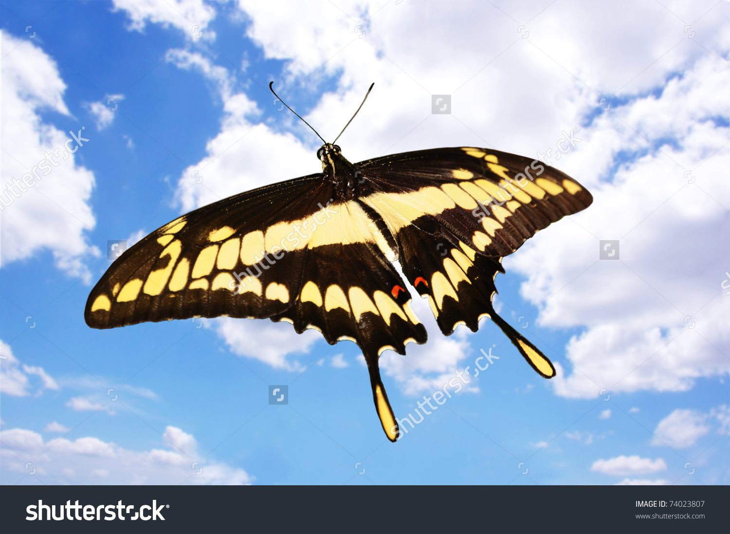 Beautiful Giant Swallowtail (Papilio Cresphontes) Butterfly Flying.