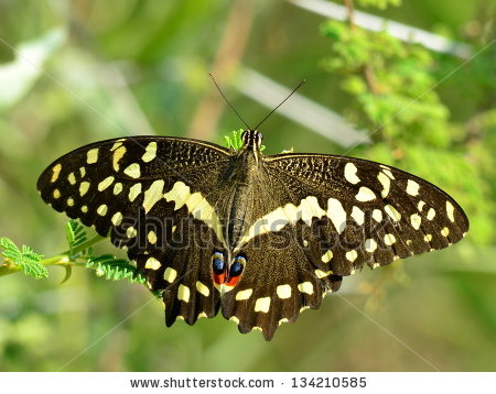 Papilio Demodocus Stock Photos, Royalty.