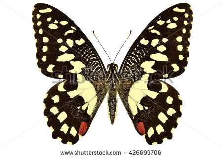 Citrus Swallowtail Butterfly Stock Photos, Royalty.