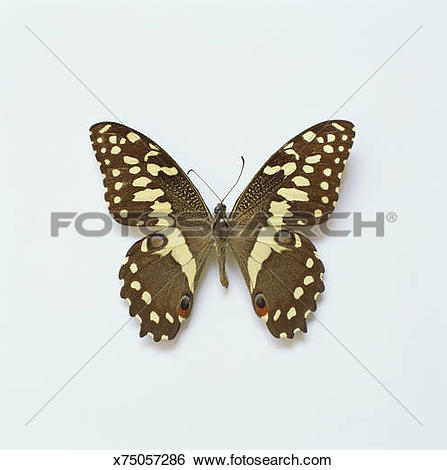 Stock Images of Citrus swallowtail Butterfly (Papilio demodocus.