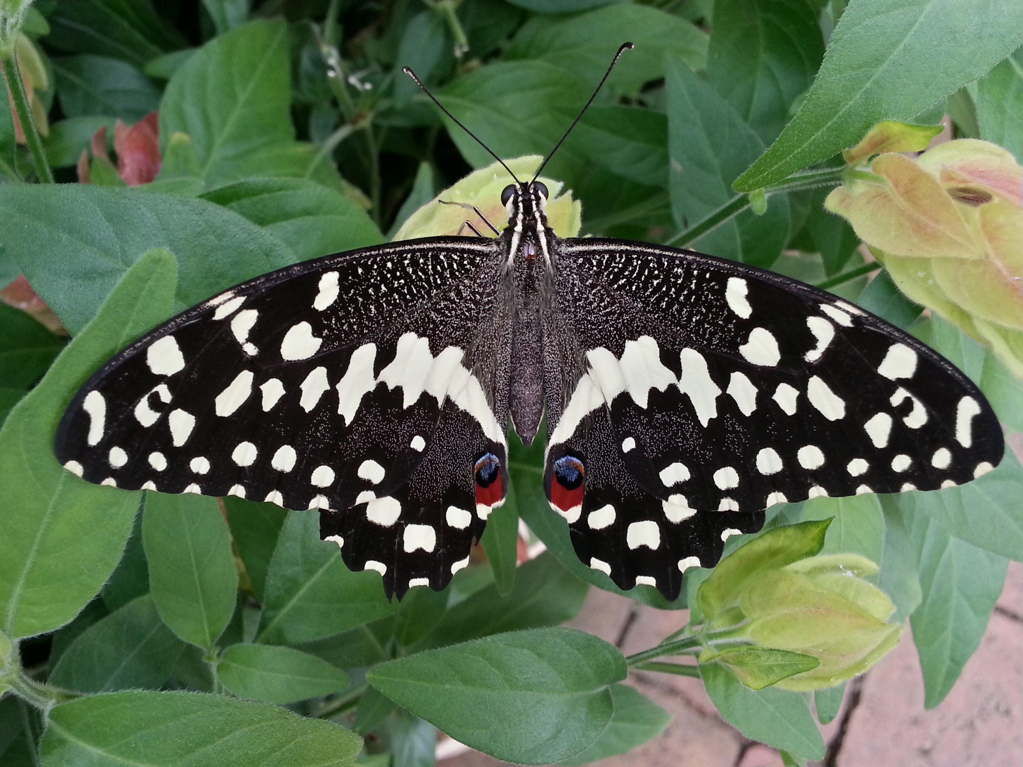 File:Citrus Swallowtail Papilio Demodocus Butterfly.jpg.