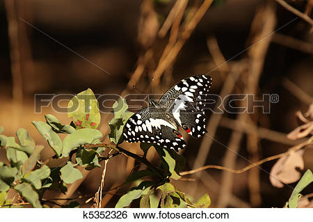 Stock Images of Citrus Swallowtail (Papilio demodocus) in the.