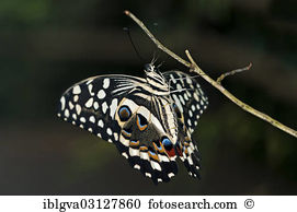 Papilio demodocus Stock Photo Images. 56 papilio demodocus royalty.