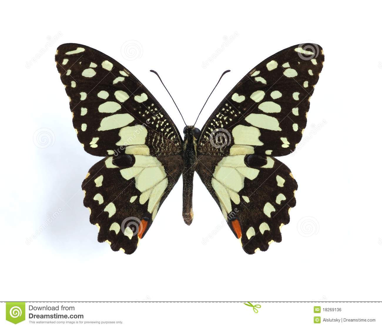 Papilio Demodocus (Citrus Butterfly) Royalty Free Stock Image.