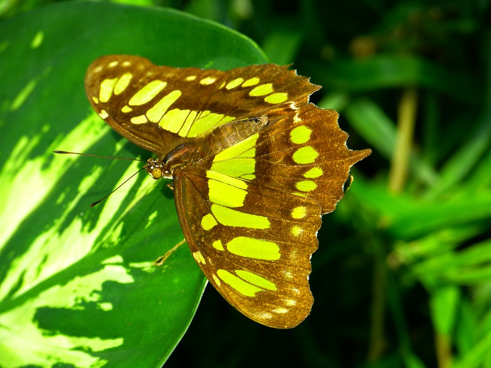 Free photo Insect Animal Fly Butterfly Malachite Butterfly.