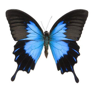 Papilio u. telegonus Gloss Blue Swallowtail Butterfly.