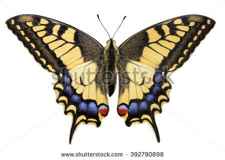 Papilio Stock Vectors & Vector Clip Art.
