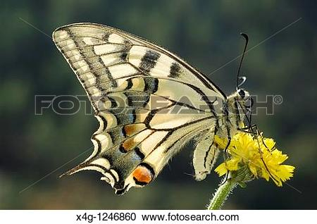 Stock Photography of Swallowtail Butterfly Papilio machaon x4g.