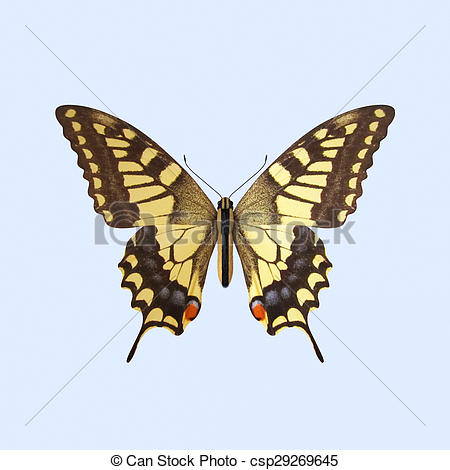 Drawing of Swallowtail Butterfly.