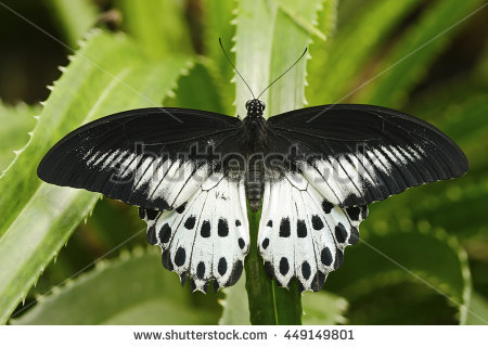 Papilio Stock Photos, Royalty.