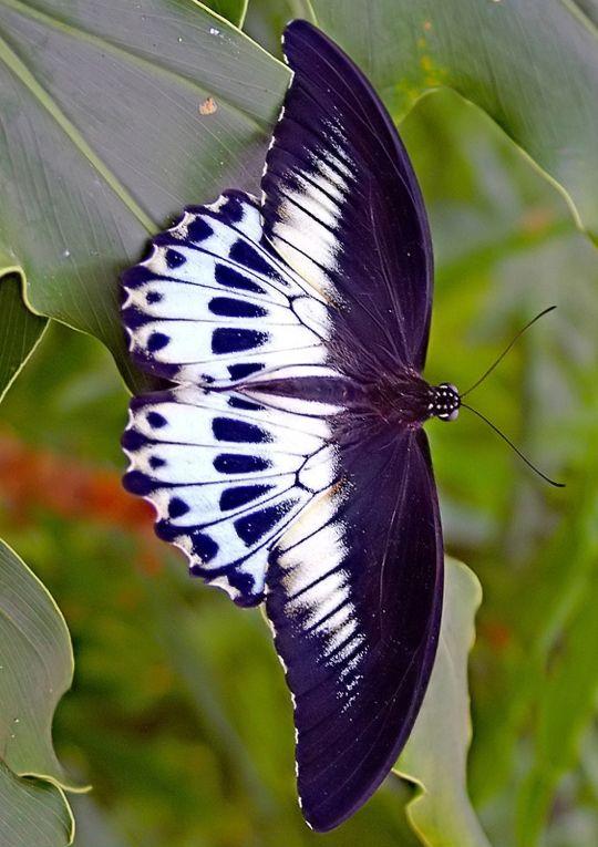 Blue Mormon butterfly (Papilio polymnestor).