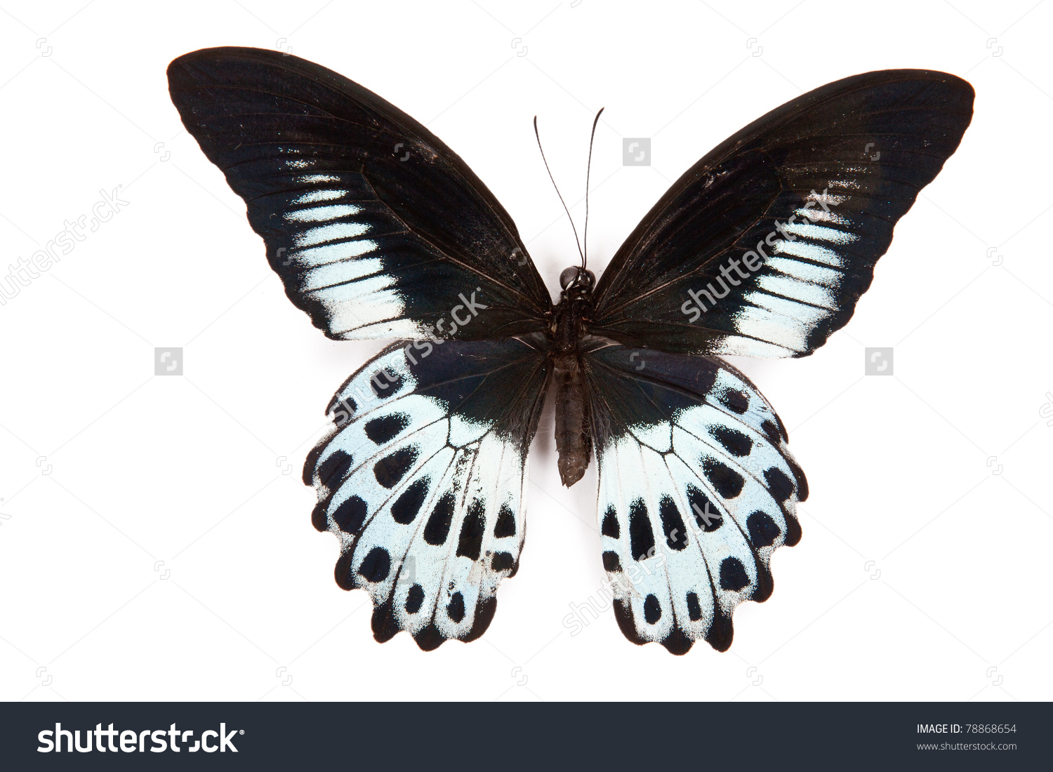 Black And Blue Butterfly Papilio Polymnestor Isolated On White.