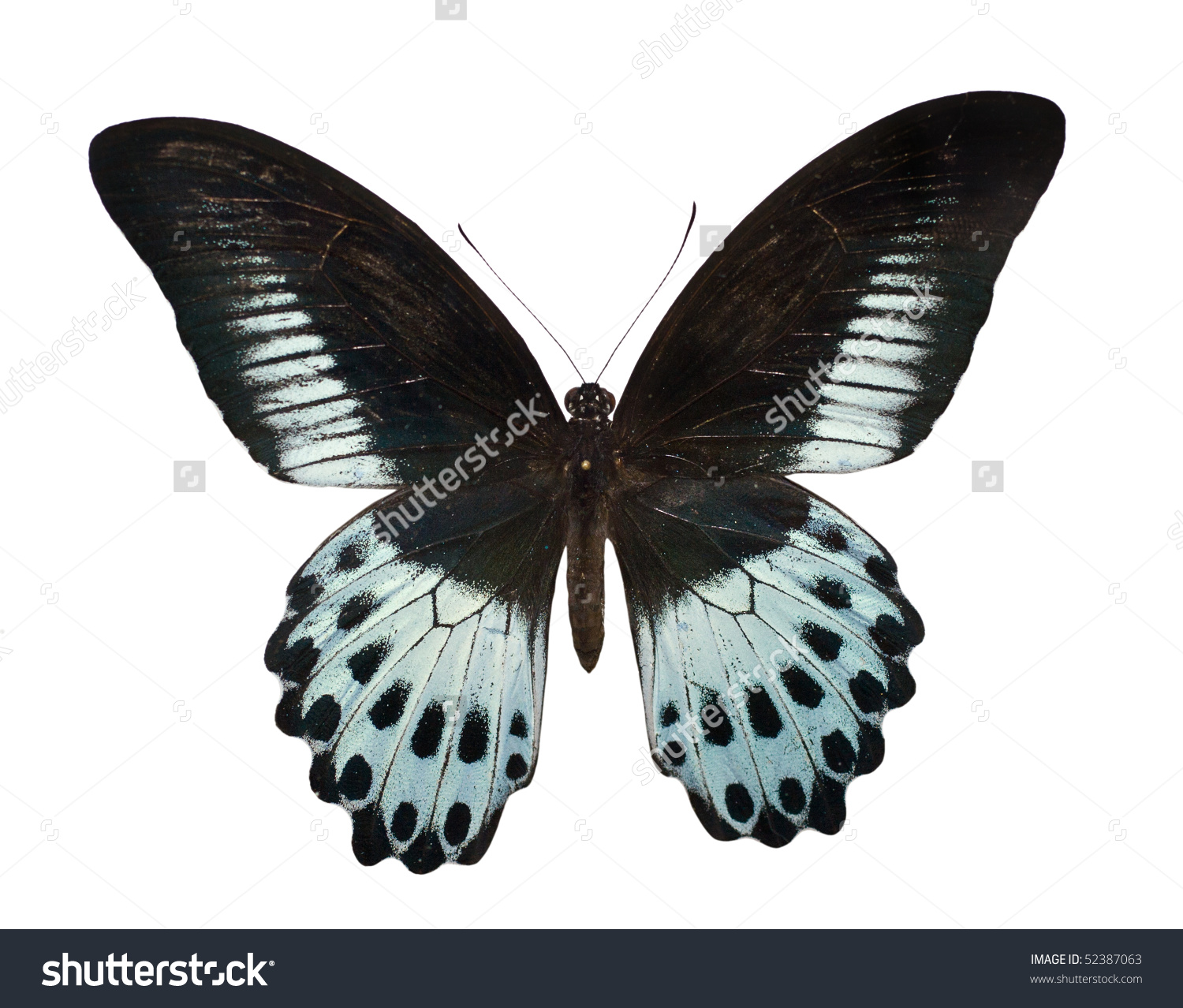 Blue Mormon Papilio Polymnestor Large Swallowtail Stock Photo.