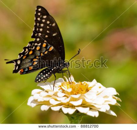 Papilio Polyxenes Asterius Stock Photos, Royalty.