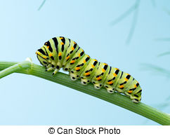 Pictures of Black Swallowtail Caterpillar (Papilio polyxenes.