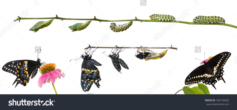 Metamorphosis Butterflies Eastern Black Swallowtail Papilio Stock.