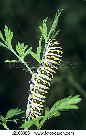 Stock Photography of Eastern Black Swallowtail larva, (Papilio.