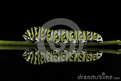 Eastern Black Swallowtail Caterpillar (Papilio Polyxenes) Stock.