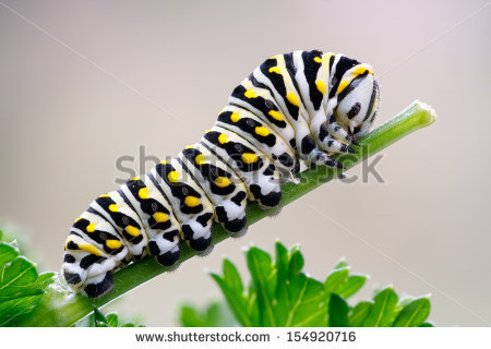 Papilio Black Butterfly Swallowtail Polyxenes Stock Photos.