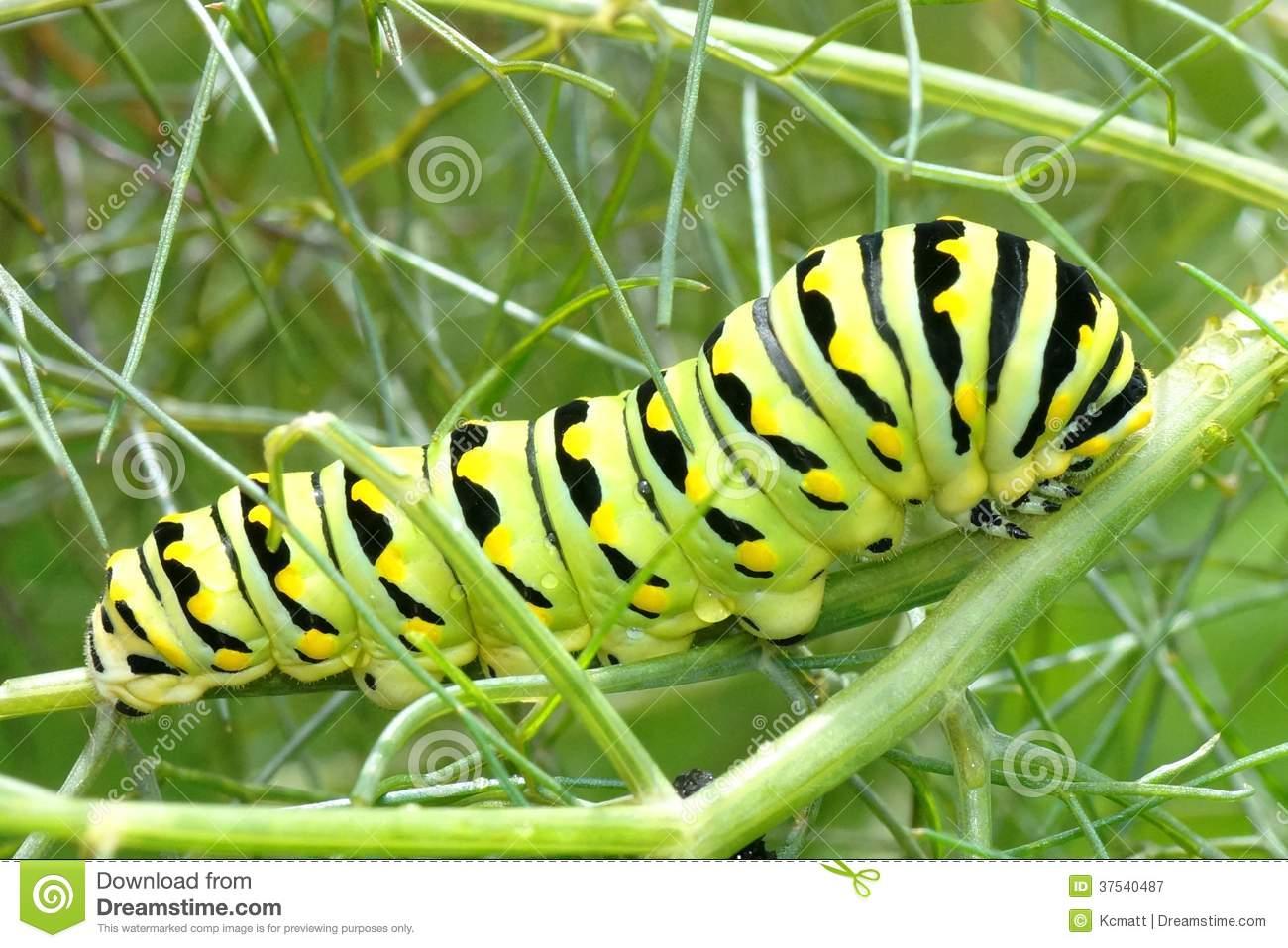 Black Swallowtail Caterpillar, Papilio Polyxenes Royalty Free.