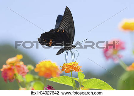 Stock Photo of Black Swallowtail butterfly (Papilio polyxenes.
