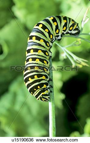 Stock Images of (Papilio polyxenes) Eastern Black Swallowtail.