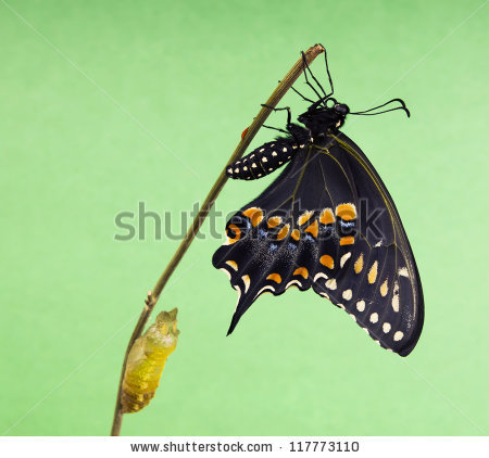 Butterfly Eastern Black Swallowtail Papilio Polyxenes Stock Photo.