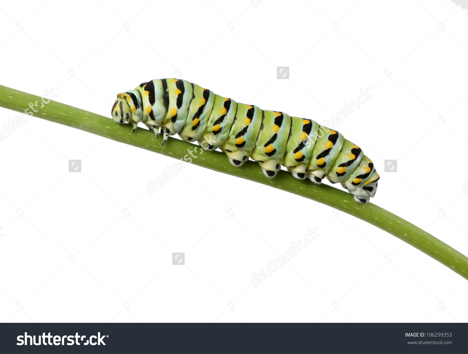Caterpillar Butterfly Eastern Black Swallowtail Papilio Stock.