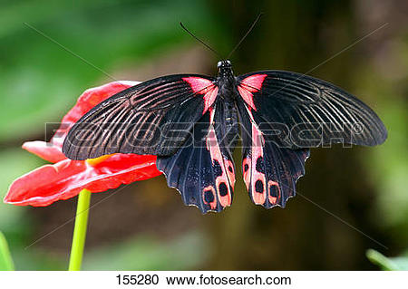 Stock Photography of Scarlet Mormon at red blossom / Papilio.