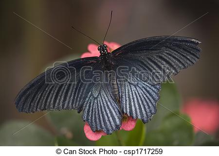 Stock Photographs of Papilio Rumanzovia Black White Butterfly on.
